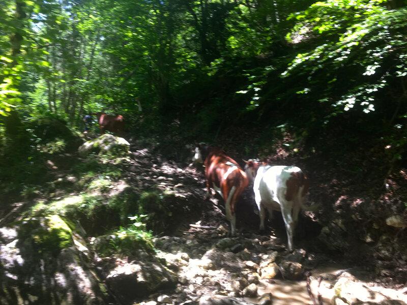 Accompagnés des vaches