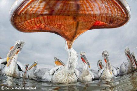 WPY pelican