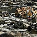 tigrerw6hhbo1_1280