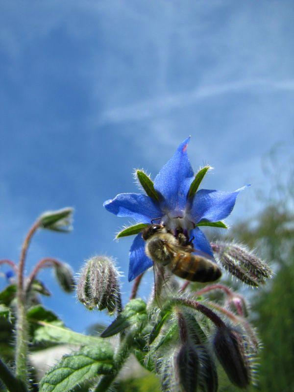 abeille5abbaye d'Aulps
