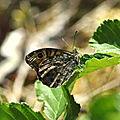 Lasiommata maera (Némusien ariane )