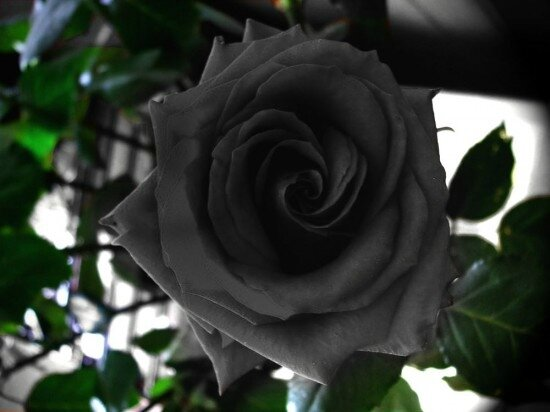 les-roses-noires-de-halfeti-en-turquie-1