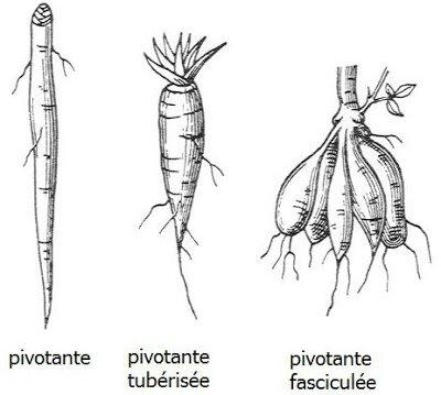 plante racine