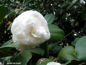 4381_Camelia_blanc