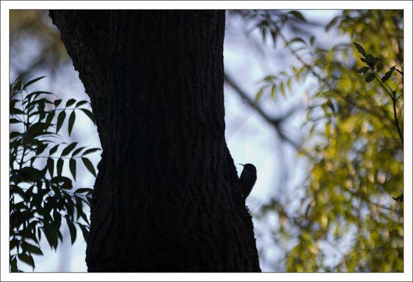 ville lulu grimpereau 1 tronc 311012