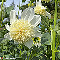 Dahlia-Platinum-Blonde