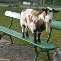 Cette chèvre jouerait-elle à