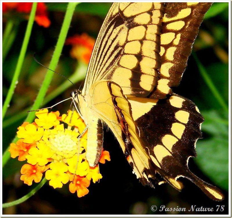 Les papillons (12)