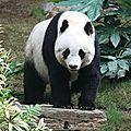 Bonne nouvelle pour les pandas géants