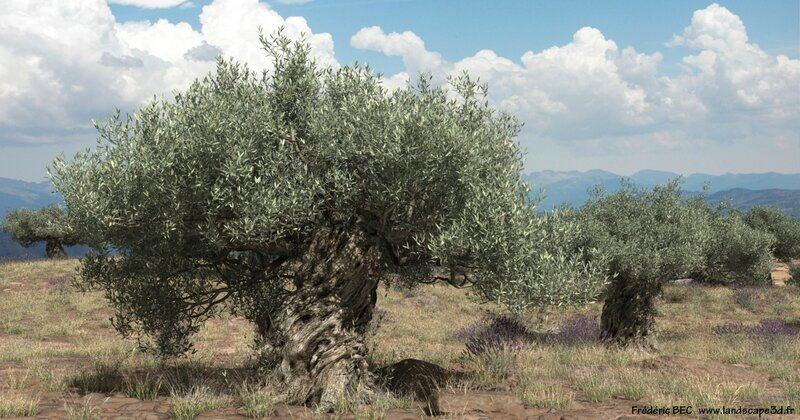 Olea europaea olive tree 3D tree plant model TPF The Plant Factory image 1