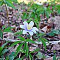 Anémone sylvie (anemone sylvestris) aux tons bleutés