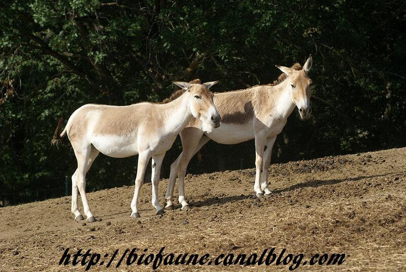 KULANS AU PARC ANIMALIER D'AUVERGNE
