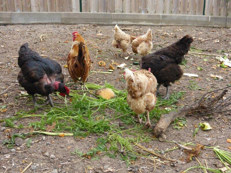30-poules et feuilles de carottes (19)