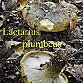 Lactarius plumbeus