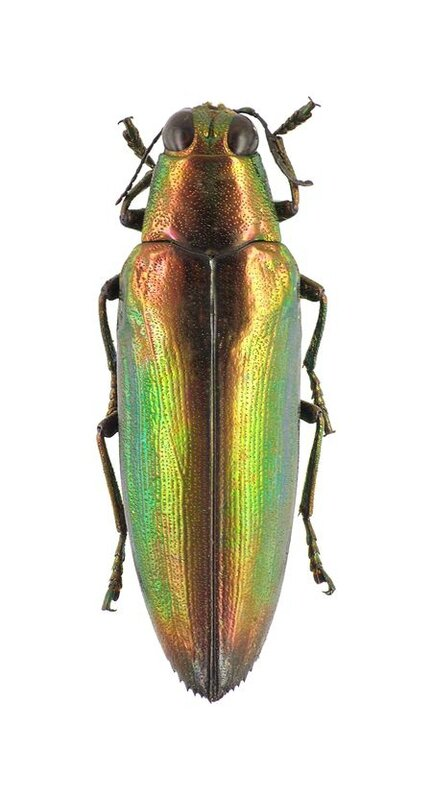 Chrysochroa caroli