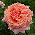 La rose amour de molène