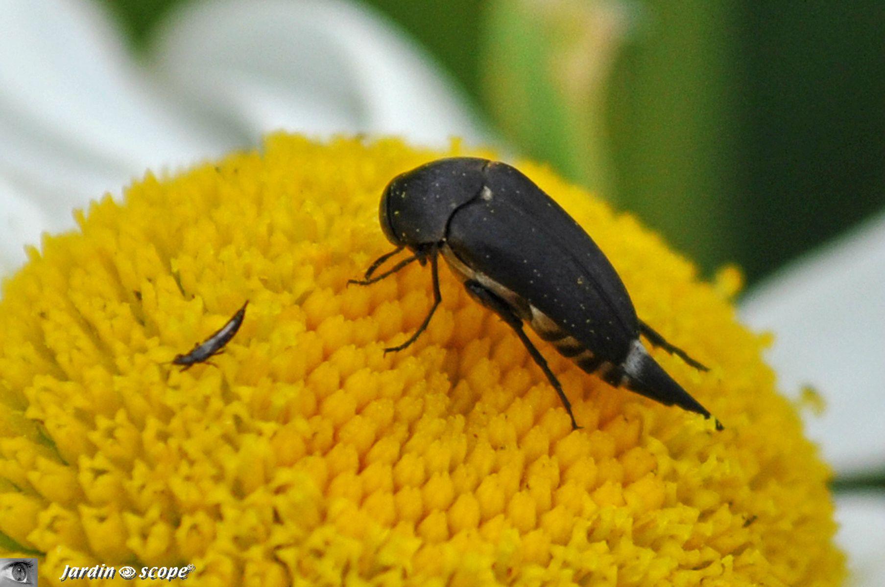 Mordelle à pointe • Mordella aculeata • Mordellidae