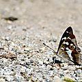 Grand Mars changeant - Apaturia iris (6)