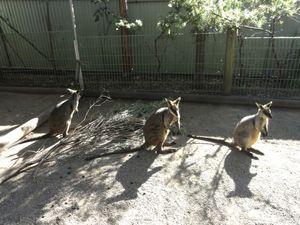 Nos premiers kangourous