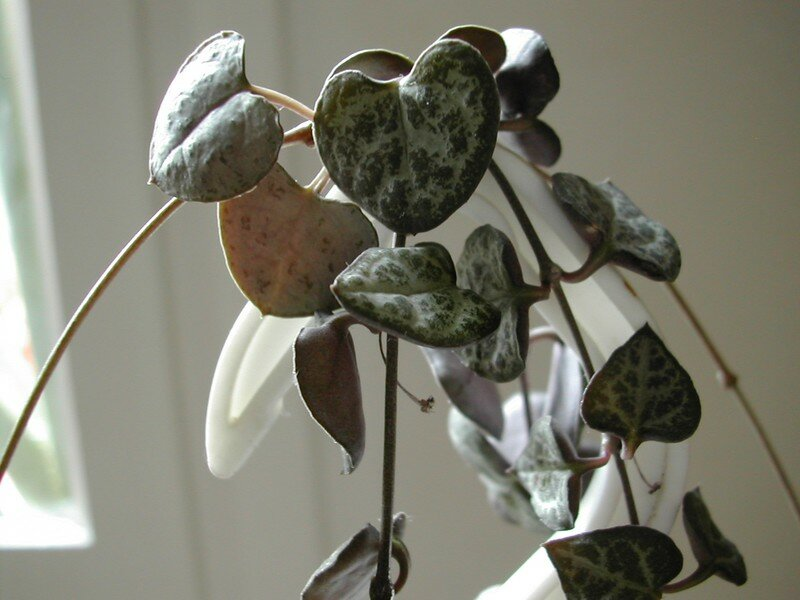 Ceropegia woodii-woodii