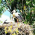 Chapitre 3 en lorraine :-) cigogne blanche, white stork, weiss storch, cigogna bianca