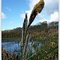 14 Carex acutiformis ou Laîche des marais ou fausse Laîche aiguë