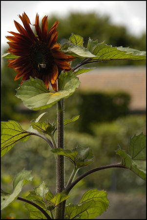 tournesolcoul