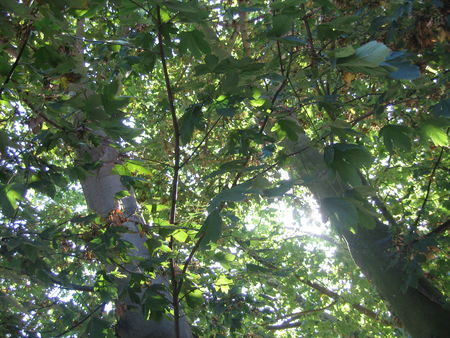 sunshine_sunlight_sun_through_leaves_on_Sycamore_tree_trees_autumn_fall_September_in_Kingston_London_England_1_DHD
