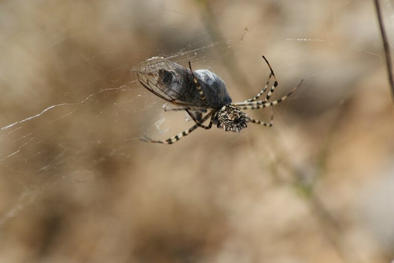 =araignée - argiope lobée 54