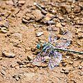 Gomphe gentil - Gomphus pulchellus (2)