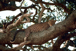 800px_Leopard_on_the_tree