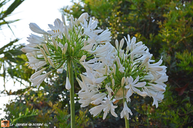 Agapanthe-blanche-2