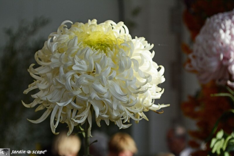 Expo 2014 du Conservatoire National du Chrysantheme