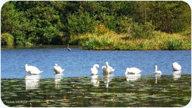 Lac Cygnes et Héron 0110157