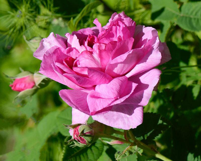 Rose Adélie 1 23-05-21