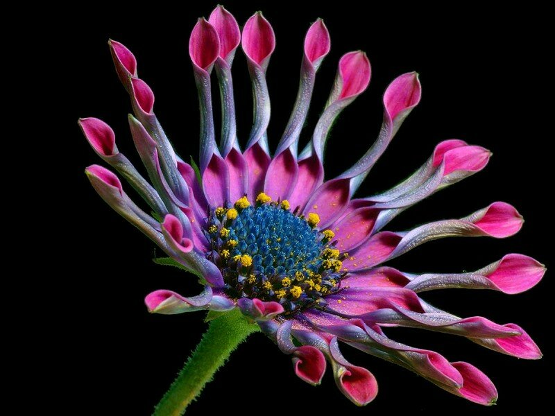 Macintosh HD:Desktop Folder:photos nature:FLEURS:daisy_2_bg_012503
