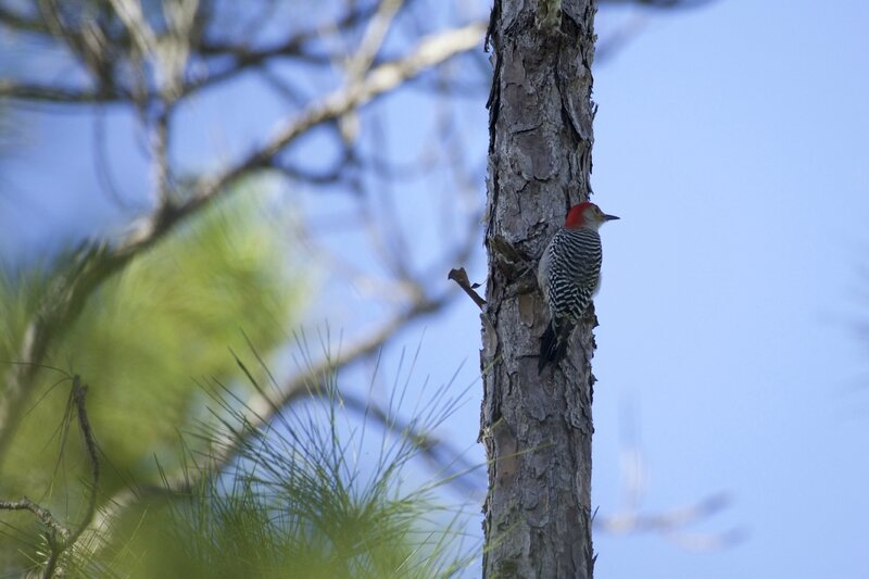247-1 Red-bellied Woodpecker Melanerpes carolinus
