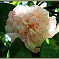Camélia rose pâle de décembre