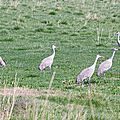 Columbia National Refuge Washington Grues 3