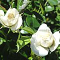 La rose du samedi #17
