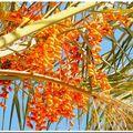 Les dattes du palmier ...