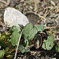 Carabe doré • Carabus auratus • Famille des Carabidae