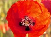 coquelicots_callian_france_1157256943_1073482