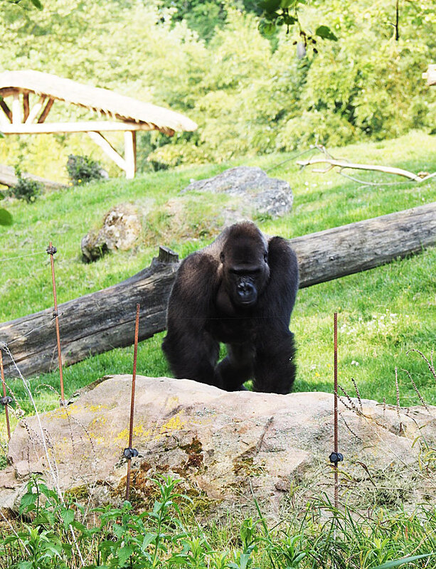zoo-beauval-animaux-gorilles-6