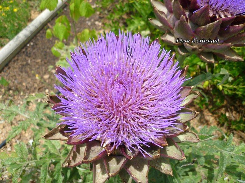 Fleur d'artichaud (1)