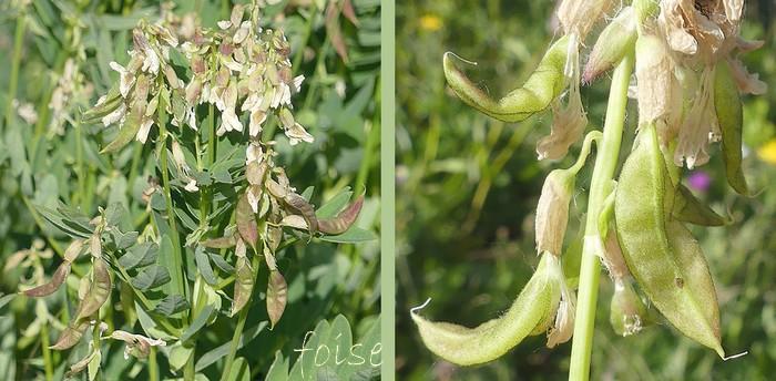 gousses pendantes longues de 2-3 cm un peu renflées pubérulentes