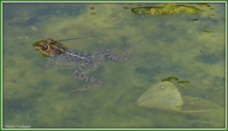 Grenouille 0404153