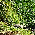 25 le crocodile d'Afrique