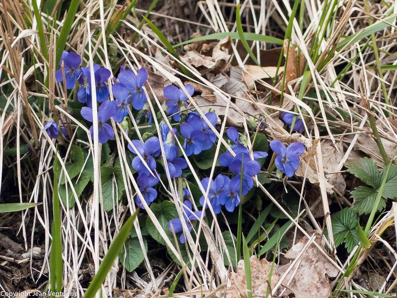 Violettes_Coubisou_25032018