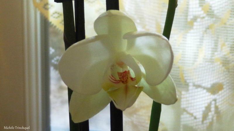 Grande Orchidée blanche 2102163